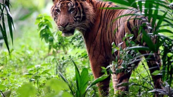 Más de un millar de tigres han sido cazados en la última década.