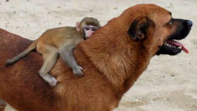 Un mono macaco de tres meses montado en el lomo de un perro.