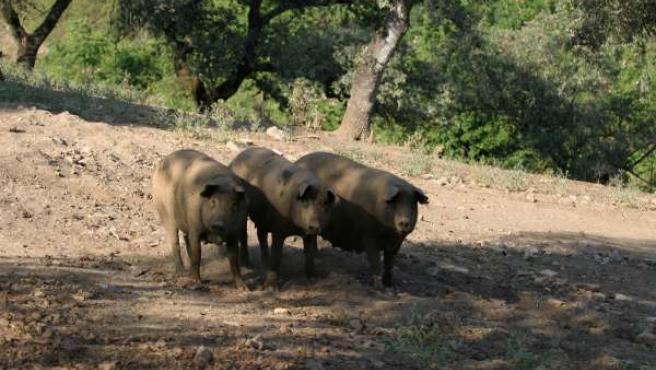 cerdos ibéricos de pata negra en la serranía de Huelva