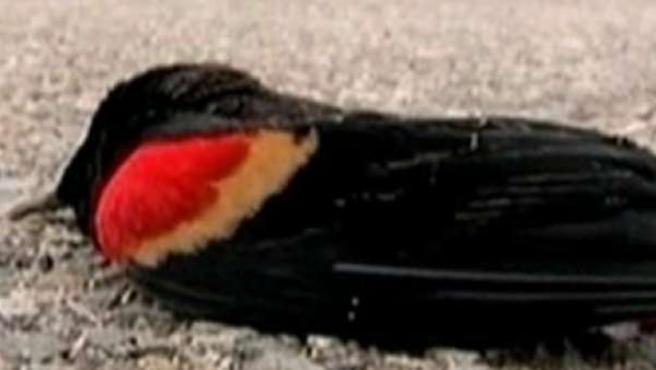 Lluvia de pájaros muertos en Arkansas.