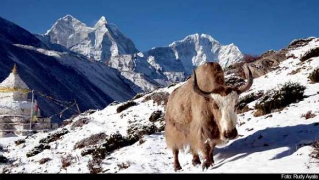 Un yak cerca de las cumbres montañoas de Nepal.