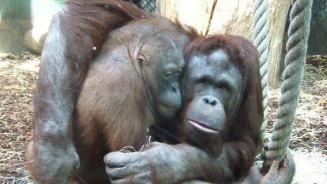 Una pareja de orangutanes.