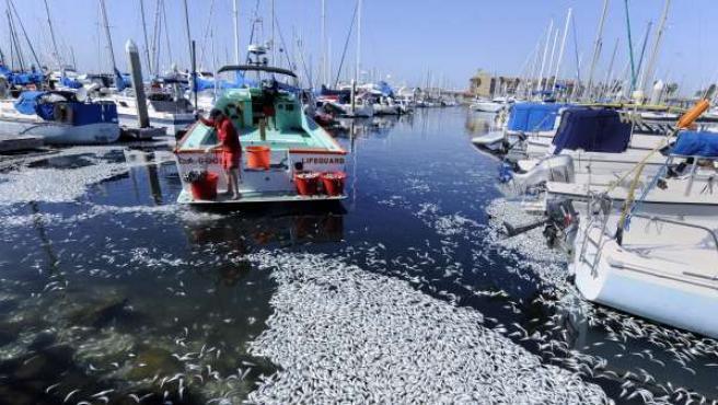 Las sardinas flotan en el puerto de Redondo Beach.