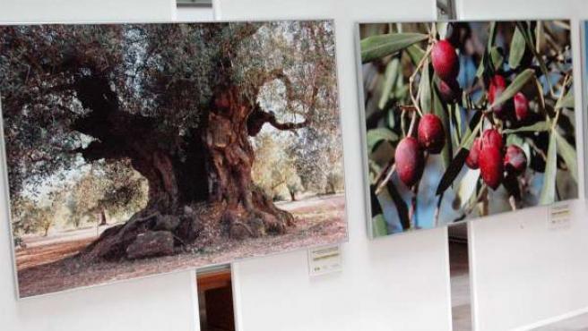 Exposición sobre olivos en Albacete