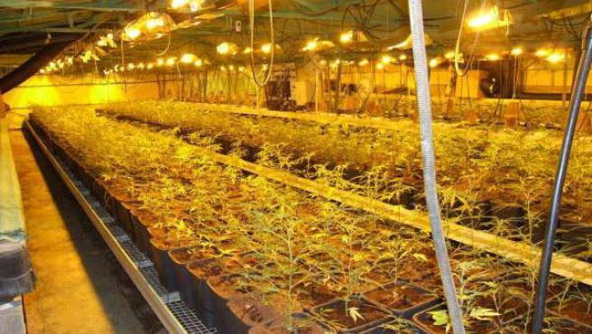 Plantación de marihuana en Bellvei
