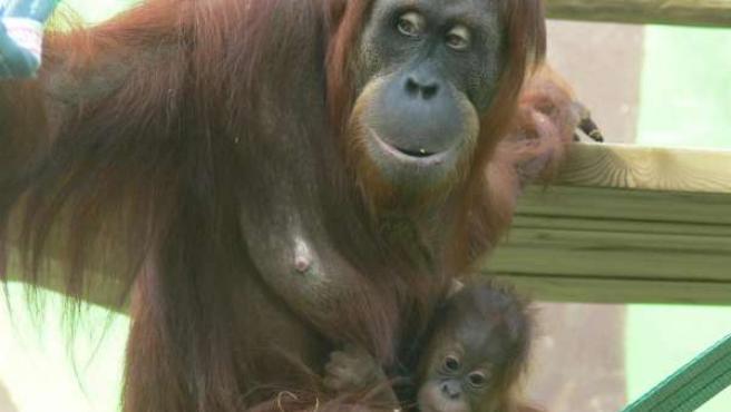 Tuah Y Nuba, Orangutanes De Sumatra En Santillana.