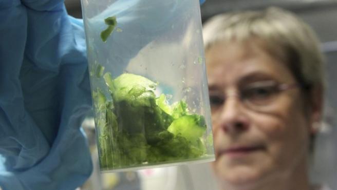 Un experto analiza muestras de un pepino en un laboratorio de la oficina estatal para la seguridad agrícola y alimentaria en Rostock (Alemania).
