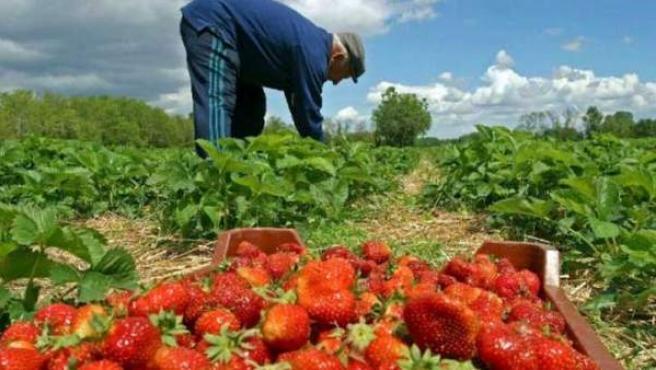 Un hombre recoge fresas en el campo.