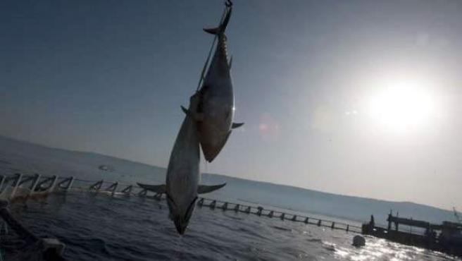 El atún rojo es una de las especies más amenazadas de nuestros mares.