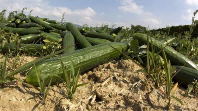 Pepinos abandonados en el campo tras la crisis alimentaria provocada por el brote de E.coli.