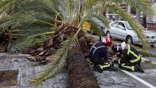 Los bomberos retiran las palmeras caídas en el Paseo Colón, en Barcelona.