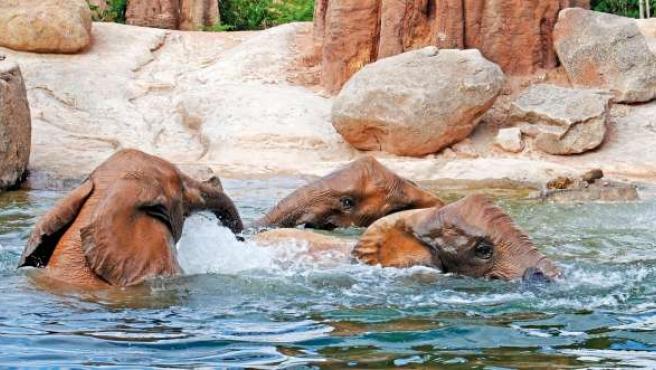 Elefantes Disfrutando De Un Baño En Bioparc