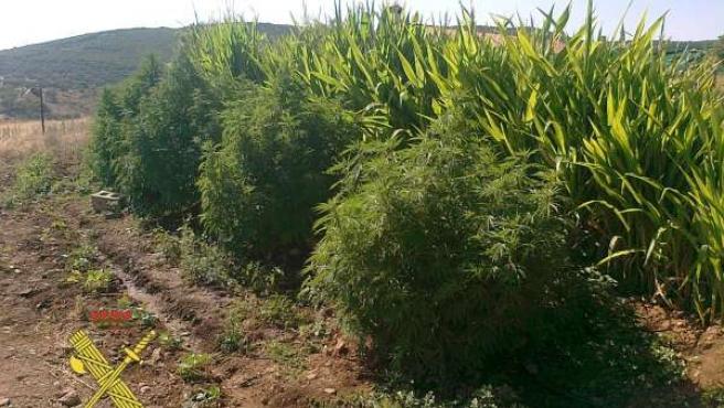Plantas De Marihuana Incautadas Por La Guardia Civil En Córdoba