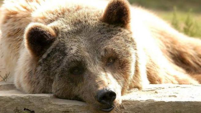 Un oso descansa tumbado, en una imagen de archivo.