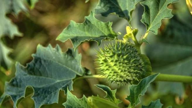 Al estramonio, muy tóxico, se le llama también hierba del diablo.