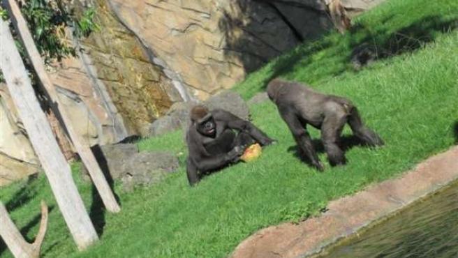 Dos Primates Con Un Helado De Frutas En El Bioparc De Valencia