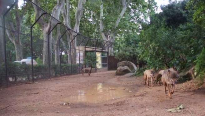 Lobas Del Zoo De Barcelona