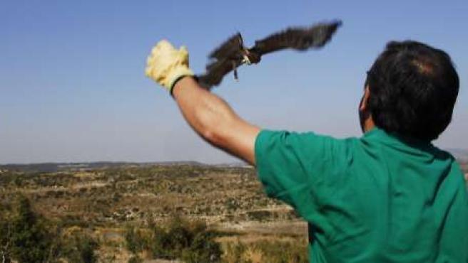 Liberación De Un Ejemplar Joven De Águila-Azor Perdicera