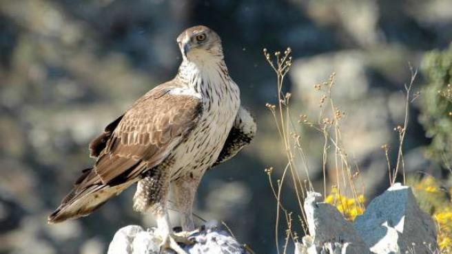 Recuperación Del Águila Azor Perdicera