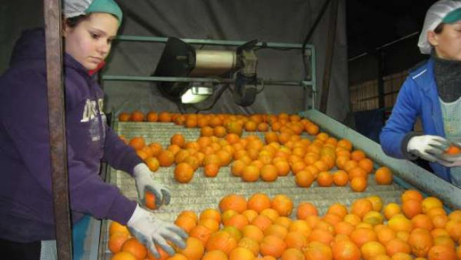 Producción de naranjas en Arboleas (Almería)