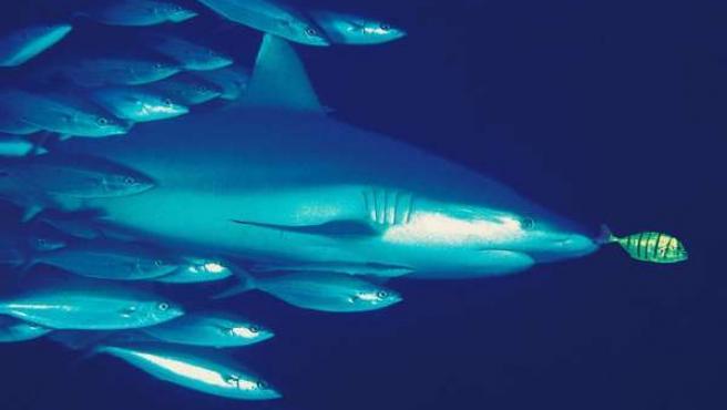 Tiburon peces mar