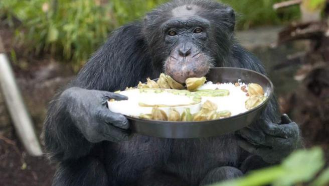 El chimpancé Toni disfruta de la tarta hecha en su honor con motivo de su 50º cumpleaños en el zoo Hellabrunn de Múnich (Alemania). Toni nació en el zoo.