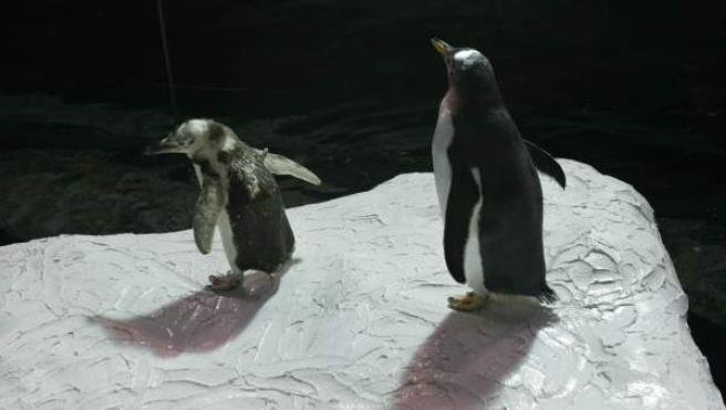 Pingüinos en un zoológico, en una imagen de archivo.
