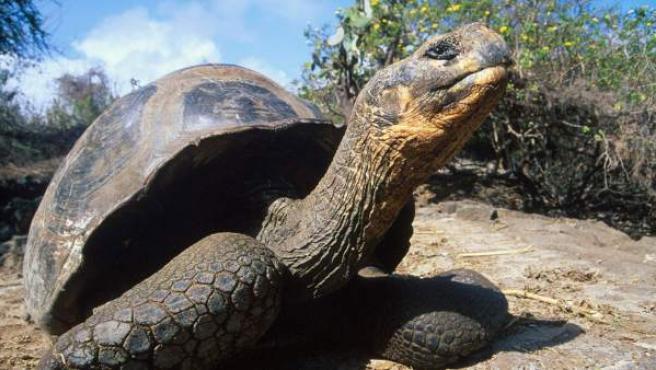 Imagen de archivo de una tortuga gigante de las islas Galápagos.