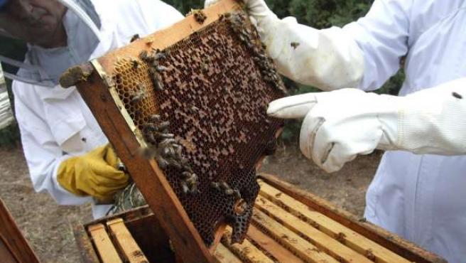 Apicultores recogen miel de abejas en una colmena