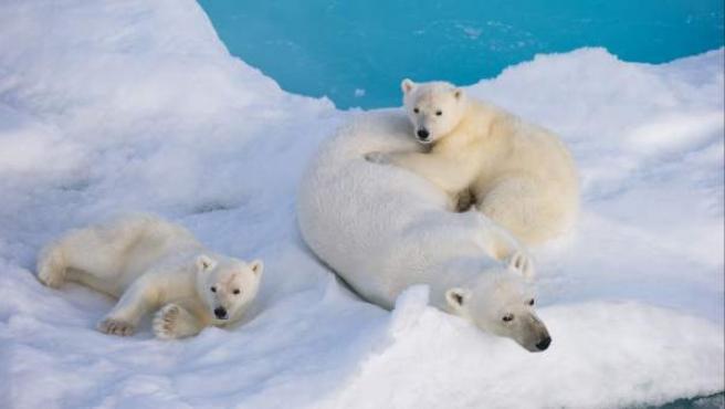 Un grupo de osos polares.