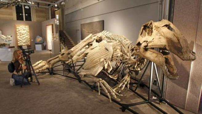 La casa de subastas Sotheby's ha expuesto en su sede de París el esqueleto de un Prosaurolophus, un dinosaurio que alcanzaba los 11 metros de altura.