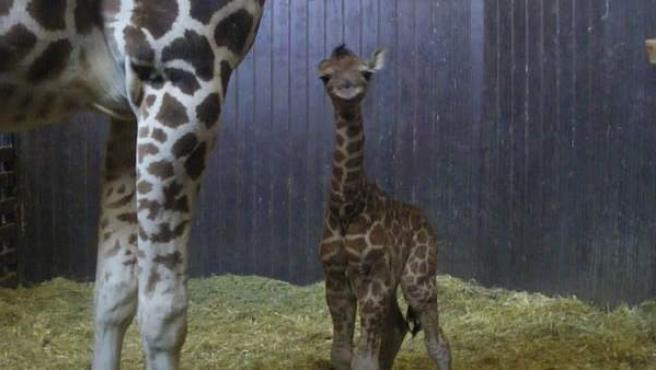 El bebé jirafa, parapetado bajo su madre.