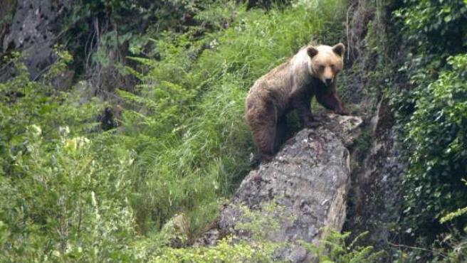 Una imagen de un oso pardo.
