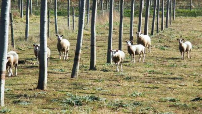 Nota De Prensa: Reportaxe De Investigación Sobre O Emprego De Ovellas Para Silvo