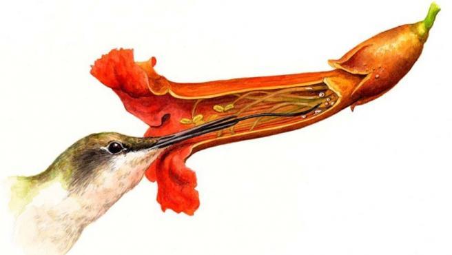 Amelia Hansen ilustra en acuarela sobre papel a un colibrí sacando la lengua para alimentarse de una flor
