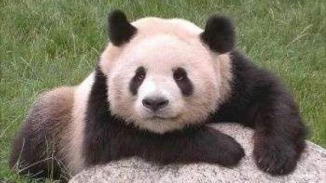Cría de oso panda en el Zoo de Madrid.