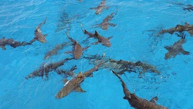 Varios tiburones en el mar.