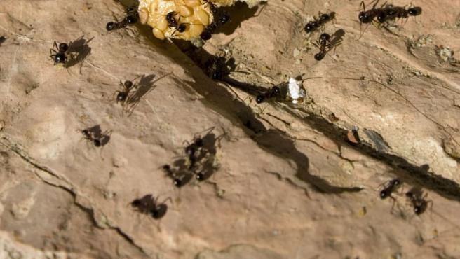 Las hormigas son una de las plagas habituales en los hogares.