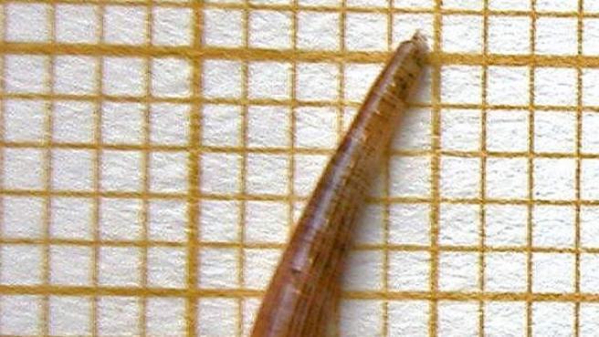 """Imagen de la nueva especie de molusco denominada """"Escafopodo valenciano"""", su nombre científico es """"Antalis caprottii"""", descubierta por el malacólogo valenciano Alberto Martínez-Orti en aguas marinas valencianas."""