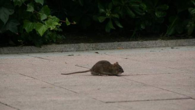 Una rata en un espacio público de Madrid.