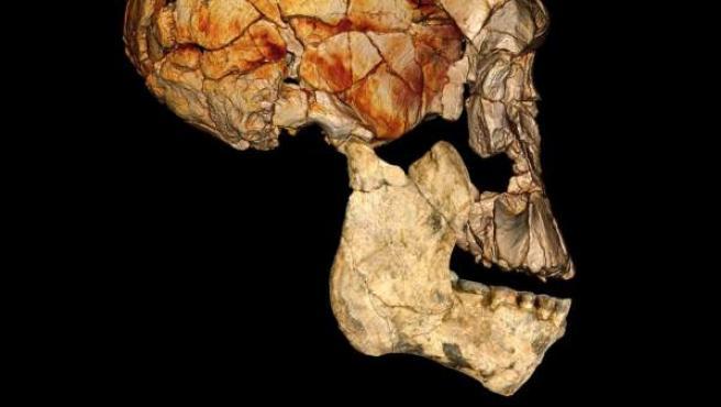 Cráneo de un homínido primitivo, descubierto en Kenia en 1972.