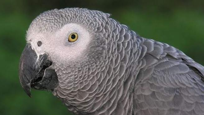El papagayo gris.