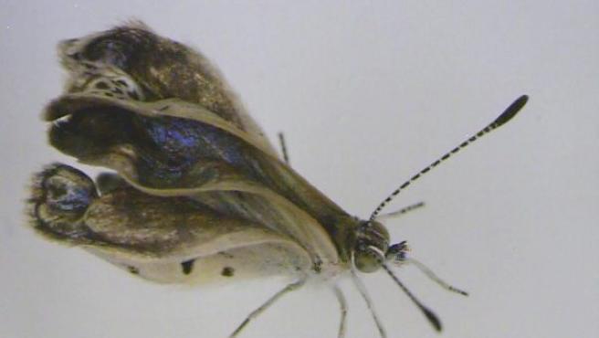 Un ejemplar macho adulto mutado de la mariposa Zizeeria maha. Se han descubierto mutaciones en varias mariposas cazadas cerca de la planta nuclear de Fukushima.