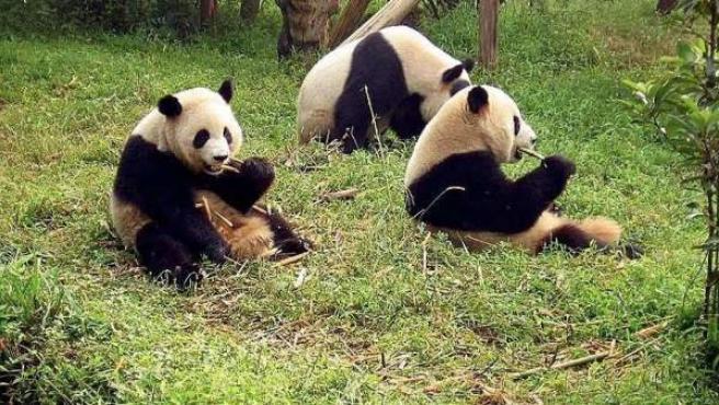 Pandas en Centro para la Investigación y Reproducción del Panda de Chengdu.
