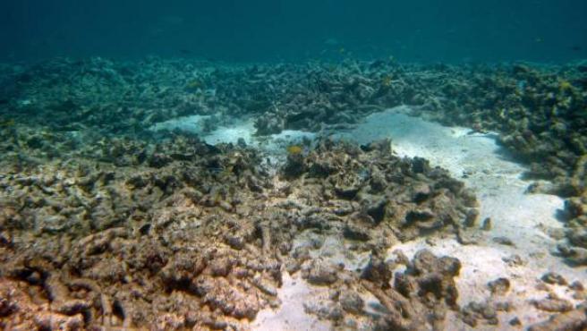 """Un arrecife después de una invasión de estrellas de mar """"corona de espinas"""" en la Gran Barrera de Coral en Queensland, Australia, afectada por esta especie que mide más de 1 metro de diámetro y que pasa la mitad de su vida comiéndose la barrera."""