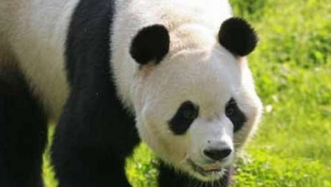 Imagen de archivo de un oso panda.