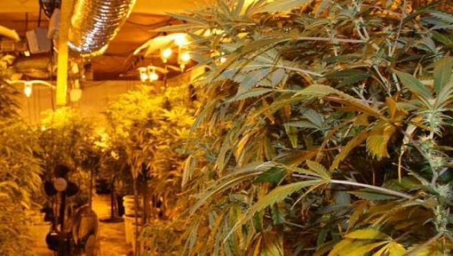 Imagen de una plantación de marihuana incautada en Mallorca.