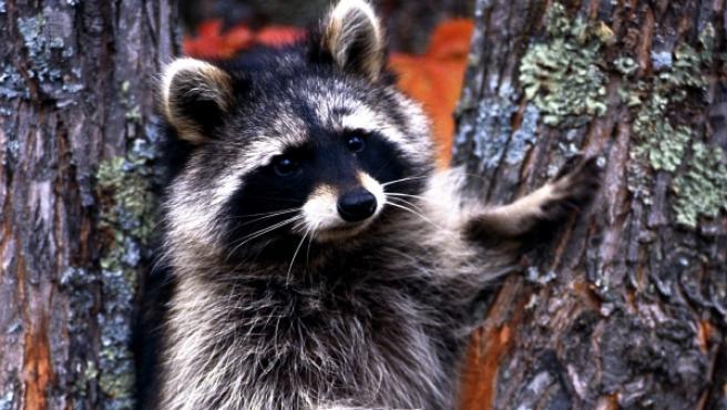 Un ejemplar de mapache americano.