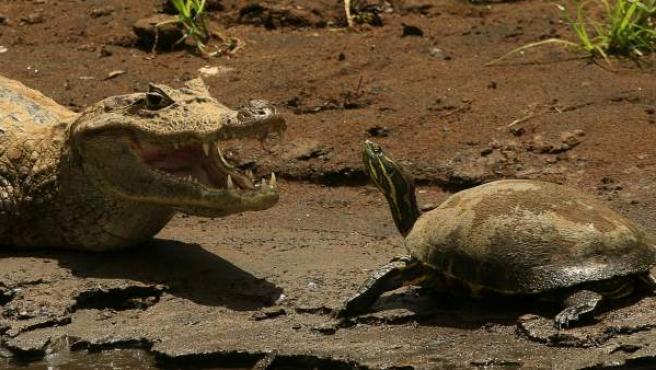 Un caimán y una tortuga toman el sol en el Refugio de Vida Silvestre Caño Negro (Costa Rica), declarado sitio Ramsar de importancia internacional en 1991 y con un área protegida de casi 10.000 hectáreas en el norte del país.