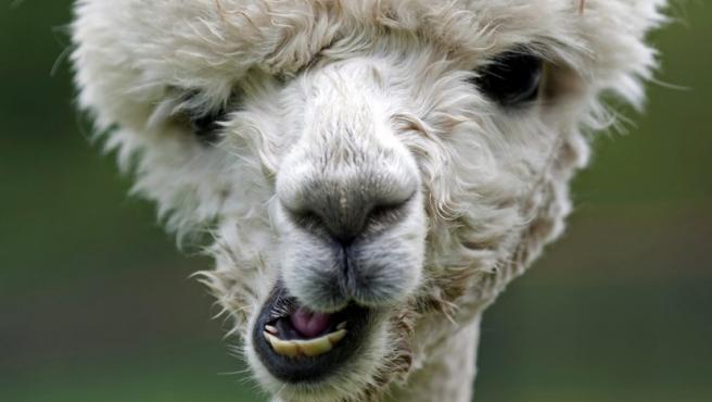 Detalle del rostro de una alpaca en un campo de Friedberg, Alemania. La alpaca es un camélido iberoamericano muy apreciado por su lana de alta calidad.